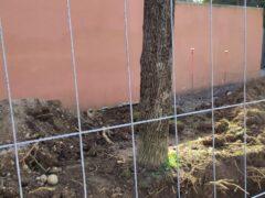 """Pini di via Emo: Zanotto promette """"modifiche di disegno per salvare gli alberi"""""""